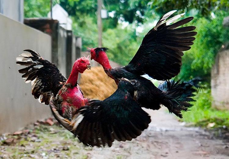 Cách chọn gà chọi tốt trong cá cược chọi gà 6