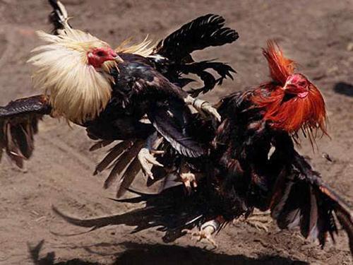 Bí quyết hay đảm bảo thắng độ trong cá cược chọi gà (Phần 3) 1