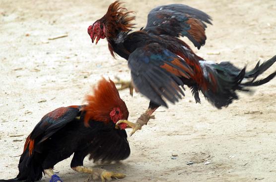 Bí kíp thắng độ trong cá cược chọi gà 2