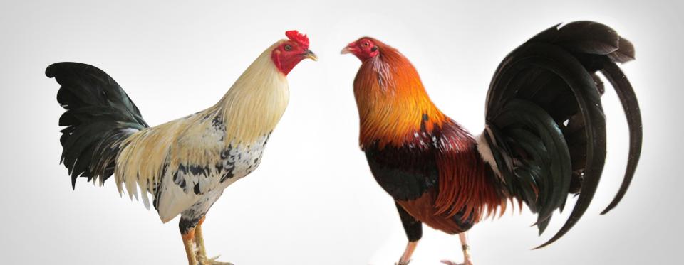 Bí quyết hay đảm bảo thắng độ trong cá cược chọi gà (Phần 1) 2