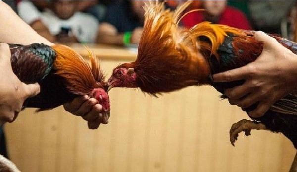 Cách nài gà và mánh khóe trong đá gà
