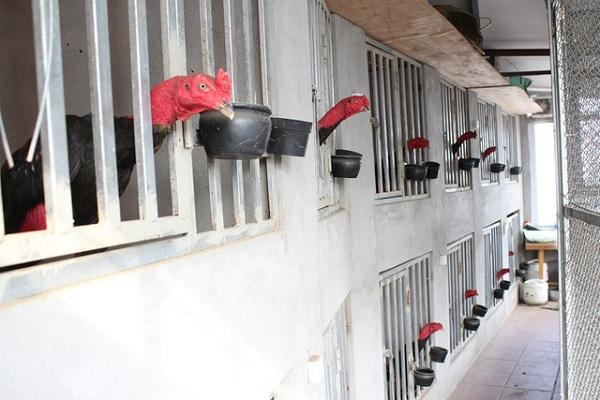 Chế độ nuôi gà cựa sắt