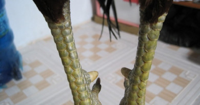 Xem chân gà đá cựa sắt