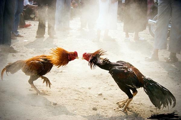 Lối gà chọi và cách khắc chế