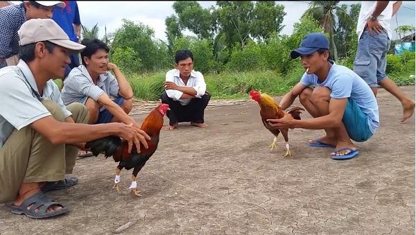 nài gà là gì