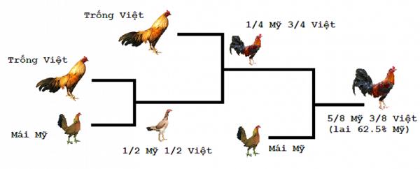 Cách lai tạo gà cựa