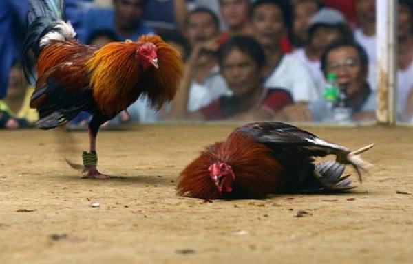 trận đá gà cựa sắt Campuchia