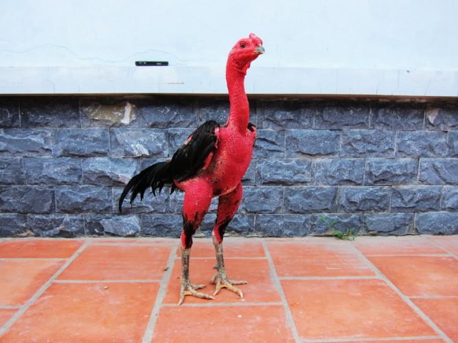 Vào nghệ đỏ cho gà chọi